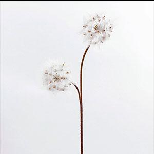 Vara con Flores diente de Leon blancas