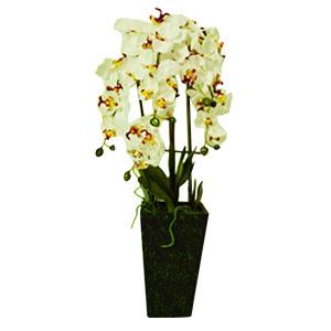 Maceta de Orquídeas blancas con raíces y hojas