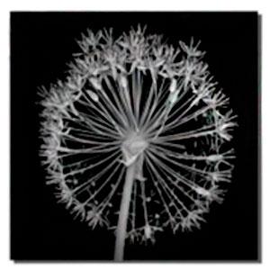 Cuadro diseño Fotografía de flor a blanco y negro de 30x40x1.5cm