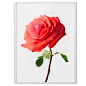 Cuadro c/marco de madera y pantalla de acrilico diseño Vara de Rosa roja de 30x40x2.5cm