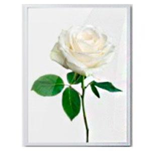 Cuadro c/marco de madera y pantalla de acrilico diseño Vara de Rosa blanca de 30x40x2.5cm