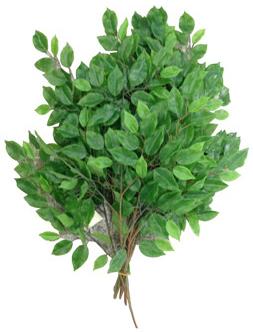 Varita de hojas verdes de ficus