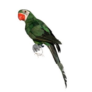 Guacamalla verde